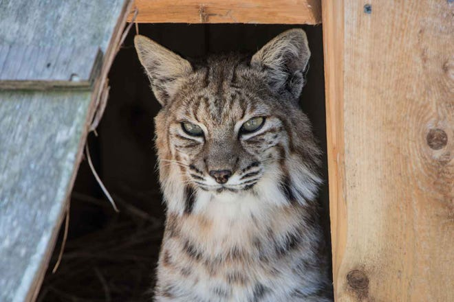 Baxter the bobcat, a resident of Bruemmer Park Zoo in Kewaunee since he and female companion Bella were brought there in 2006, was recently euthanized because he was found to have an aggressive form of cancer.