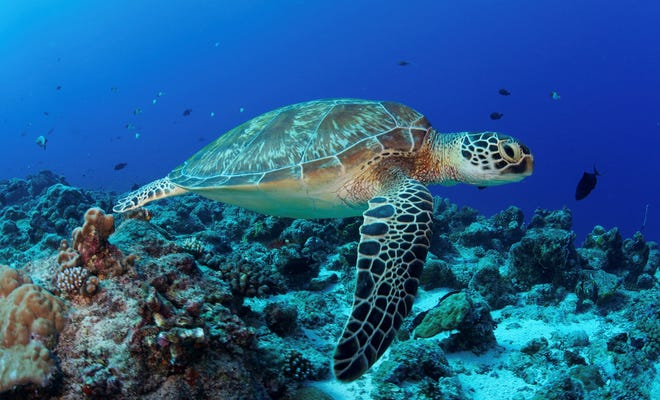 A green sea turtle swims over the coral reef. Green sea turtles are listed as endangered by the International Union for Conservation of Nature and is protected from exploitation in most countries.