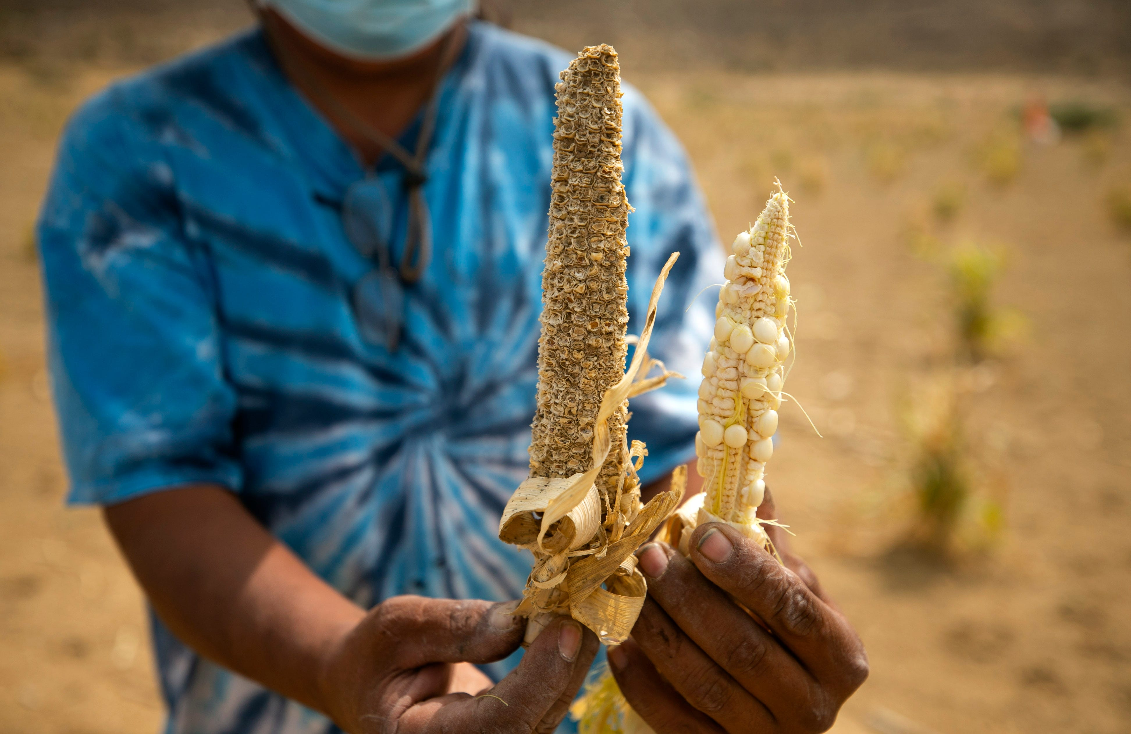Mike Koiyaquaptewa holds an ear of corn from the 2019 farming season (left) and from the 2020 season.