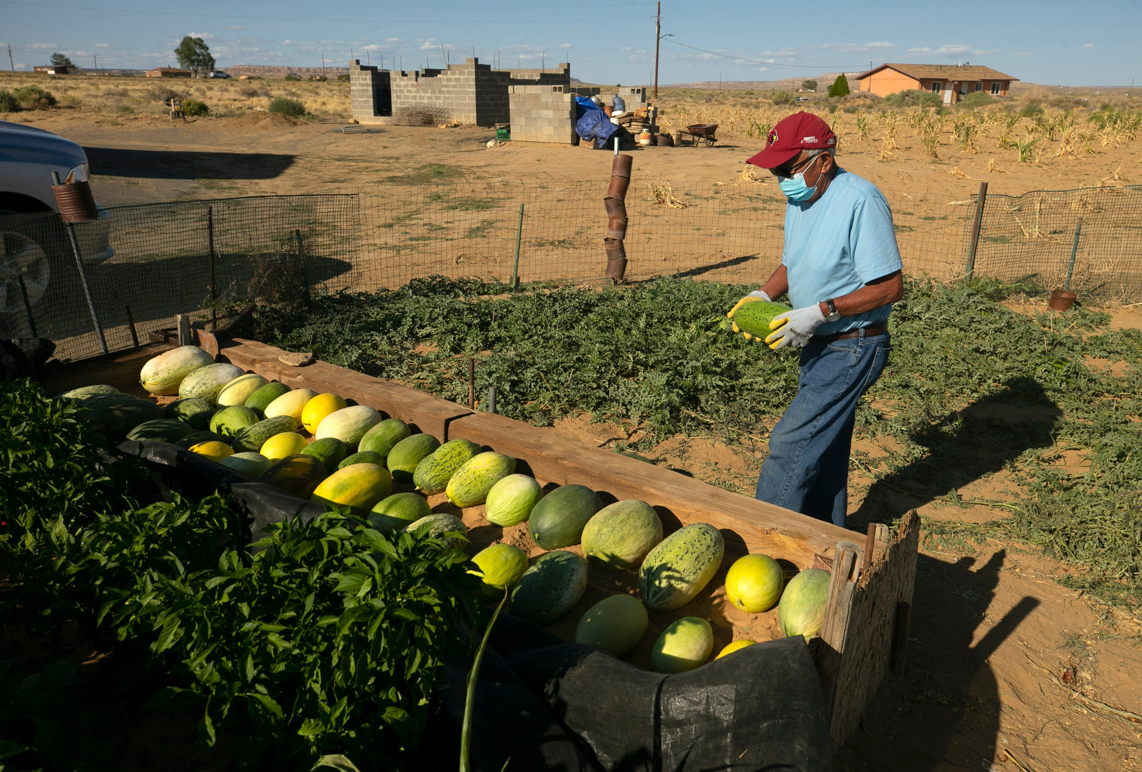 Ronald Humeyestewa collects melons in his family's garden on the Hopi Reservation on Sept 10, 2020.