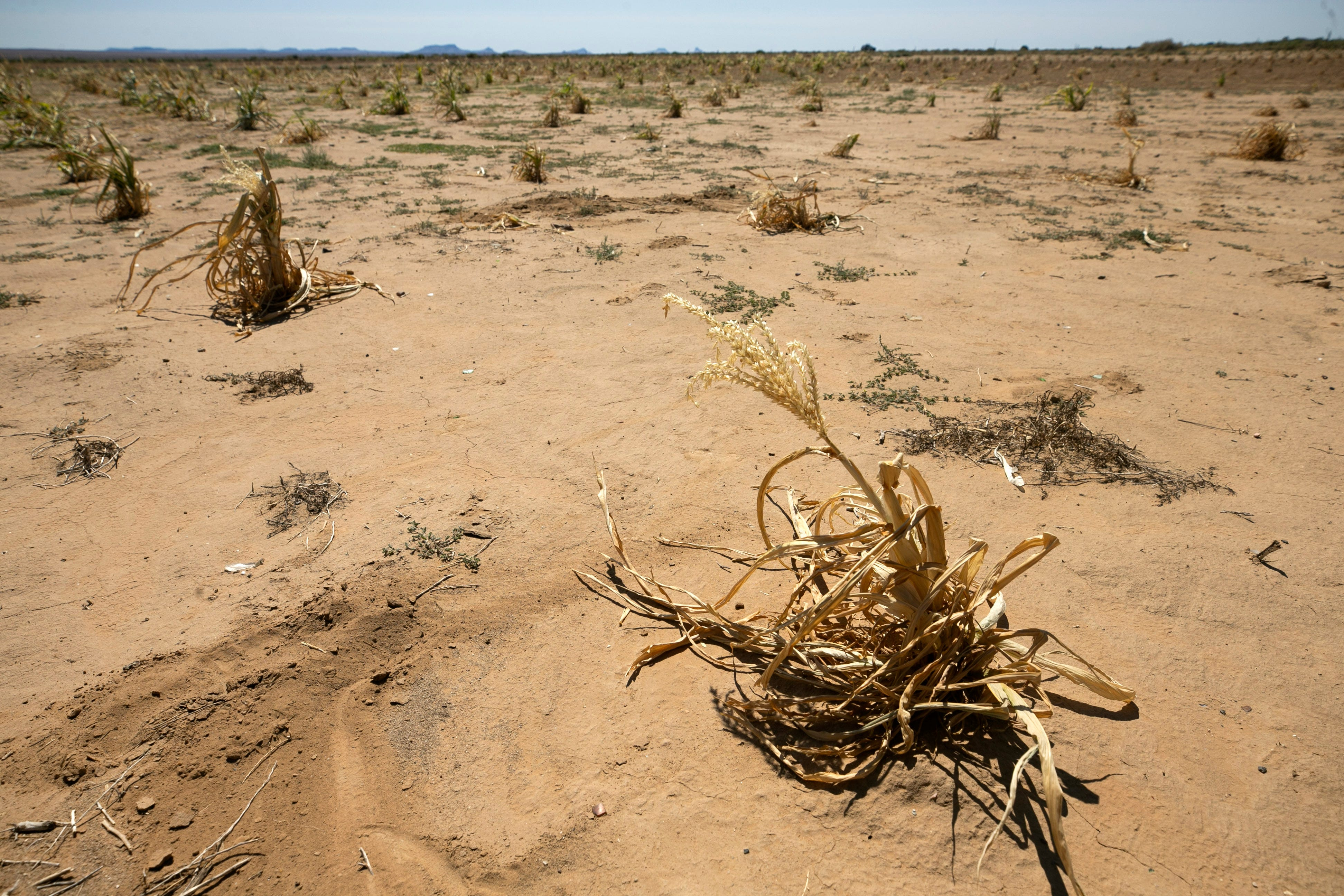 A corn plant that died before producing ears of corn remains on a field below Second Mesa on the Hopi Reservation on Sept. 10, 2020.