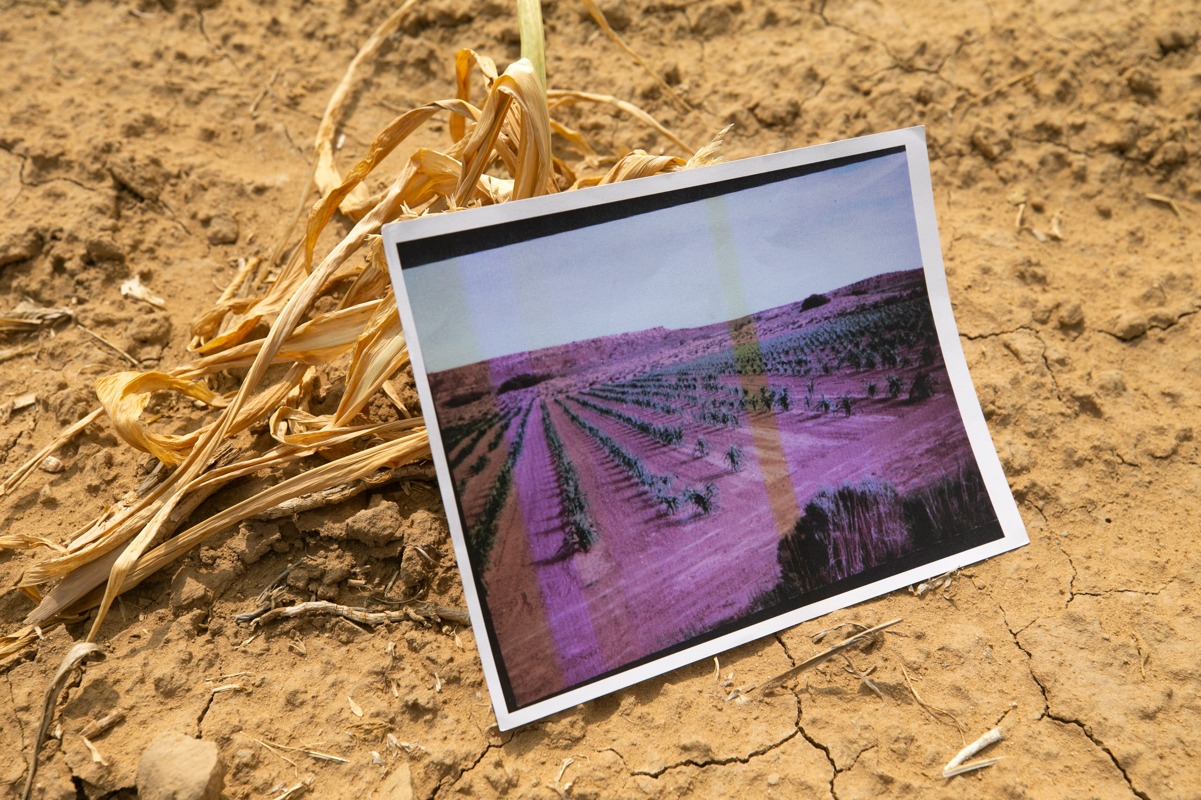A photograph of Beatrice Norton's cornfield from years ago shows the change people are seeing in their crops.