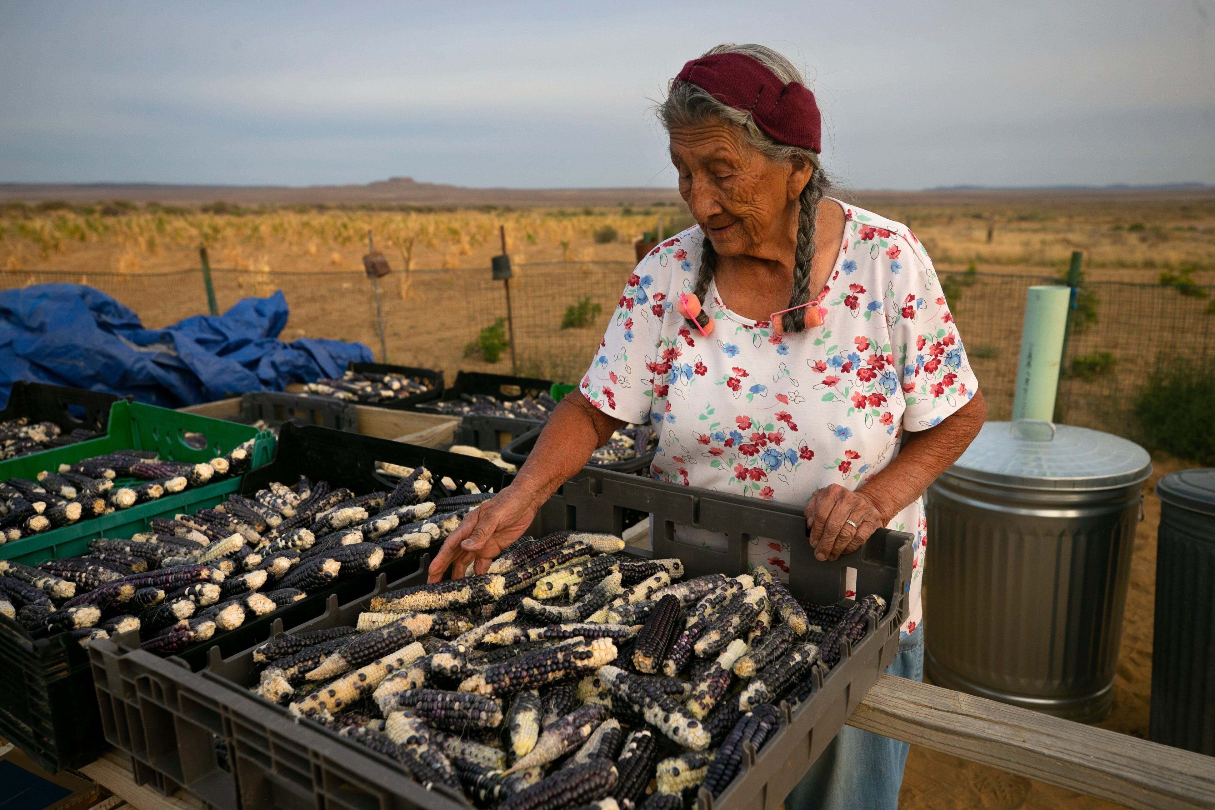 Betty Humeyestewa looks over her blue corn during the harvest at her home on the Hopi Reservation on Sept. 11, 2020.