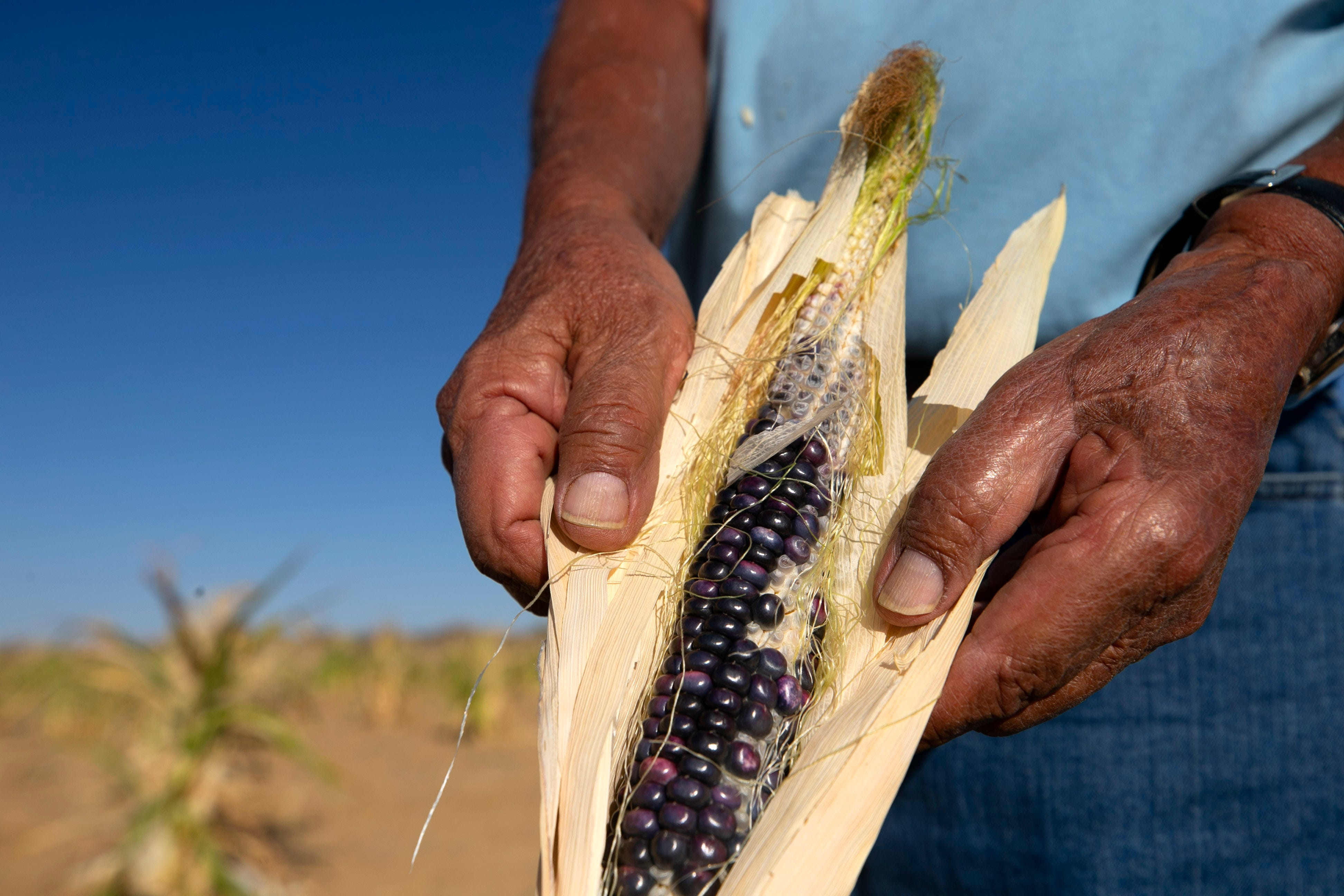 Ronald Humeyestewa holds an ear of blue corn on Sept. 10, 2020, on his family's field at their home, located below Second Mesa on the Hopi Reservation.
