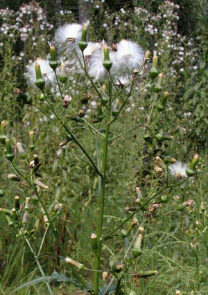This mystery plant is a native annual species, common over much of eastern North America.