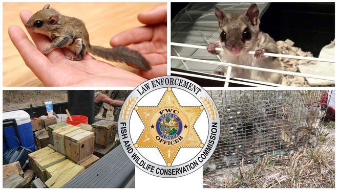 The FWC posted this collage onto its Facebook profile to announce the arrests connected with a flying squirrel smuggling scheme.
