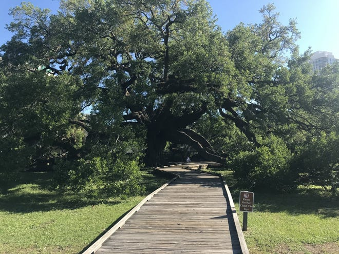 The Treaty Oak near the Southbank of the St. Johns River in downtown Jacksonville. Trees improve the quality of life by fighting climate change, reducing air pollution and helping us feel better.