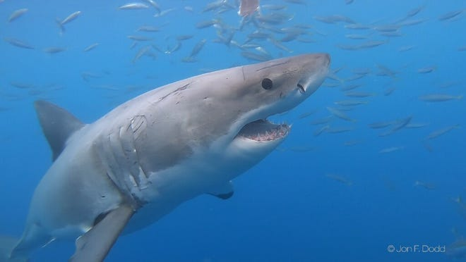 A young white shark swims in the ocean. Research by the Atlantic Shark Institute in Wakefield and the Rhode Island Department of Environmental Management detected seven different sharks in Rhode Island waters this season.