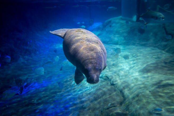 Scampi, an orphaned manatee calf, arrived at the Columbus Zoo and Aquarium on Thursday to begin rehabilitating. Eventually, the goal is to release her into the Florida waters from which she was rescued last year.