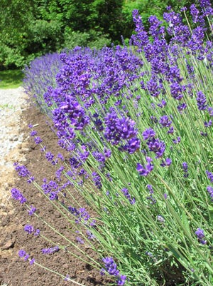 Fresh or dried lavender blossoms can be used in a variety of homemade beauty treatments.