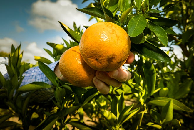 The new juice tax on oranges growers will pay increases from 7 cents for each 90-pound box of oranges they fill to 12 cents per box. Grapefruit and specialty fruits will remain at 7 cents a box.
