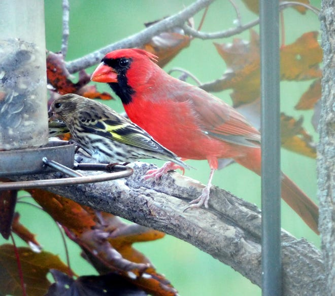 A Cardinal and Pine Siskin share the feeder. [SANDRA MATUSCHKA PHOTO]