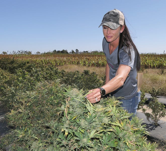 Melisa Nelson-Baldwin, a co-owner of South Bend Industrial Hemp, is examining her hemp plants before harvesting them on Oct. 14 in Great Bend. [Alice Mannette/HutchNews]