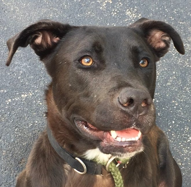 Bristol, a young Lab mix, is available for adoption at EGAPL The Heart of R.I. Animal Rescue League, in Cranston.