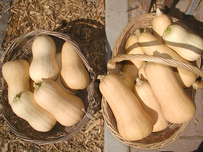 Butternut squash from a volunteer plant.