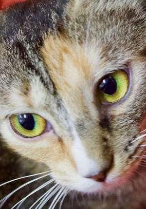 Tish, a young female calico, is available for adoption from Wags & Whiskers Pet Rescue. Routine shots are up to date. For information, call 904-797-6039 or go to wwpetrescue.org to see more pets.