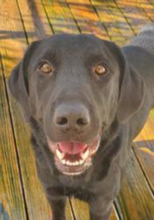 John Wayne, an adult male Labrador Retriever and Flat-Coated Retriever, is available for adoption from SAFE Pet Rescue of Northeast Florida. Call 904-325-0196. Vaccinations are up to date.