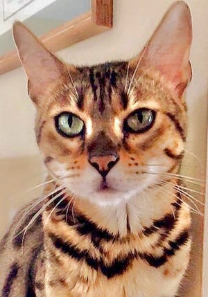 Zoebe, an adult female bengal, is available for adoption from Wags & Whiskers Pet Rescue. Routine shots are up to date. For information, call 904-797-6039 or go to wwpetrescue.org to see more pets.
