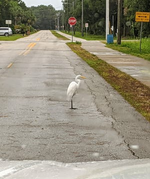 A great egret defying proper traffic laws on Mickler Road in St. Augustine Beach.