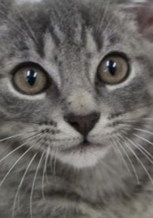 Joey, a baby male tabby, is available for adoption from Wags & Whiskers Pet Rescue. Routine shots are up to date. For information, call 904-797-6039 or go to wwpetrescue.org to see more pets.