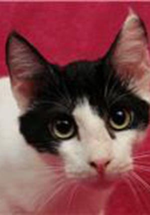 Keenan, an adult male domestic short hair, is available for adoption from Wags & Whiskers Pet Rescue. Routine shots are up to date. For information, call 904-797-6039 or go to wwpetrescue.org to see more pets.