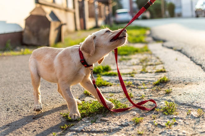 Puppies need a firm foundation in basic obedience before advanced training is possible.
