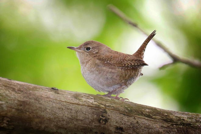 Carolina Wrens live with us year-round and endear us with their robust song and seemingly friendly manner.