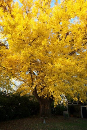 One of Louisville's oldest Ginkgo trees at The Peterson-Dumesnil House.