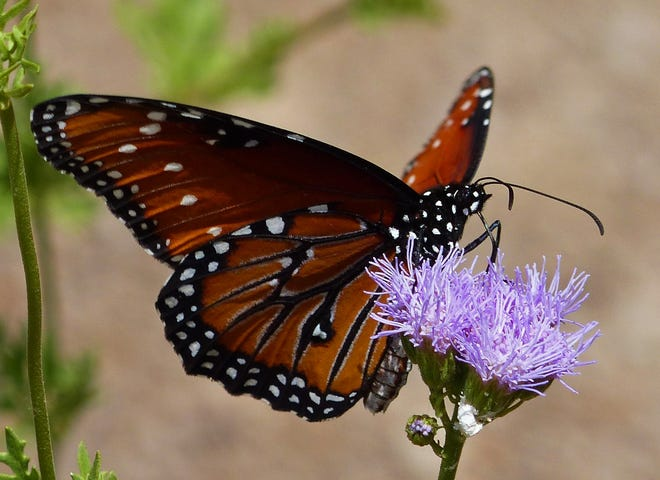 A Queen butterfly visits a blue mistflower bloom.