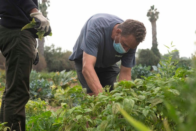 Frederick Stover, 52, the owner of Overflow Farms in Riverside County, shows volunteers how to prune basil on Oct. 10, 2020.