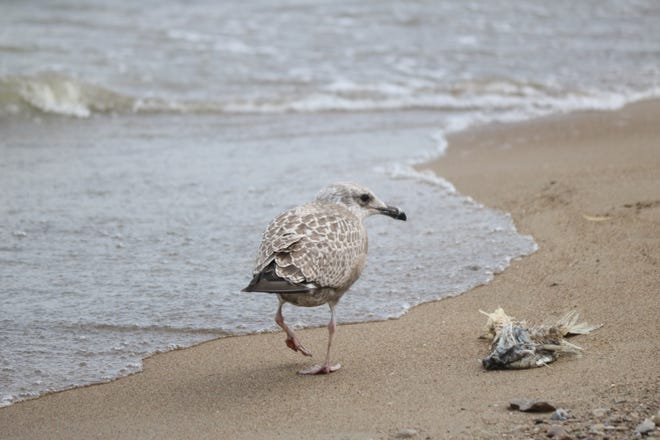 As the rain came and went, this young herring gull stumbled upon a meal not quite yet picked clean along the beach in the heart of Port Clinton.