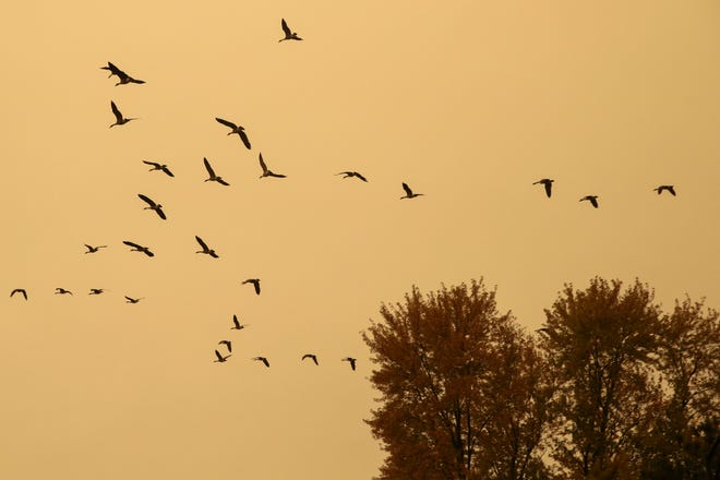 Canada geese are seen flying against yellow skies on Thursday, Oct. 22, 2020, in Stevens Point, Wis.