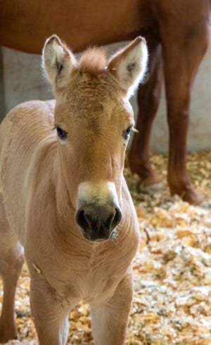 The 2-month-old, dun-colored colt named Kurt was created by fusing cells taken from an endangered Przewalski's horse at the San Diego Zoo in 1980. The cells were infused with an egg from a domestic horse that gave birth to Kurt two months ago.