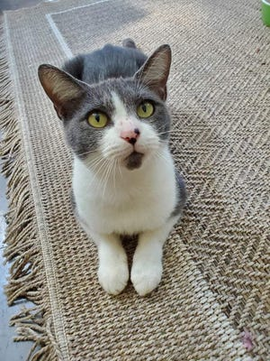 Sissy is an adorable 2-year-old female kitty with gray and white fur. She is very sweet and loves attention from all people. She is adjusting to life in our kitty kottage with other cats. Sissy will make a friendly and loving companion and is ready to meet you at our shelter!