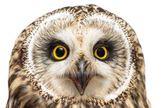 A short-eared owl.