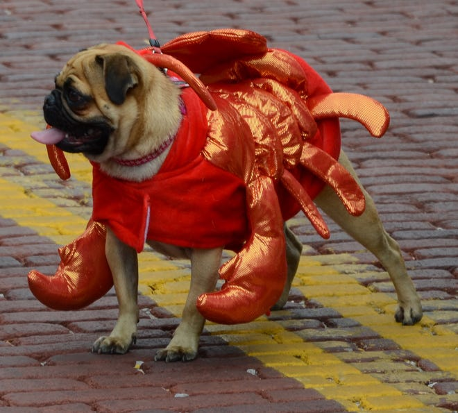 A local pug competes in a lobster costume in 2017 at Boo on Bell.