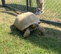 Sparkplug, a 200-pound African spurred tortoise, went missing in Sardis City, and someone took him to the South Sauty area and released him. His owners hope to get him back.