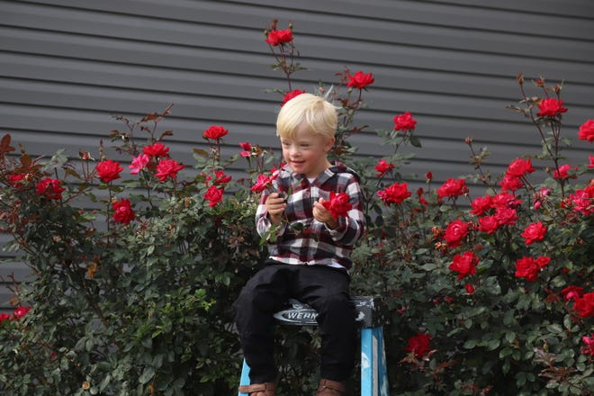 Jonah Milton,4, sits atop a four-foot ladder and is still not as talls as the knockout roses in the garden of his grandparents, Jerry and Linda Dawson of New Philadelphia.