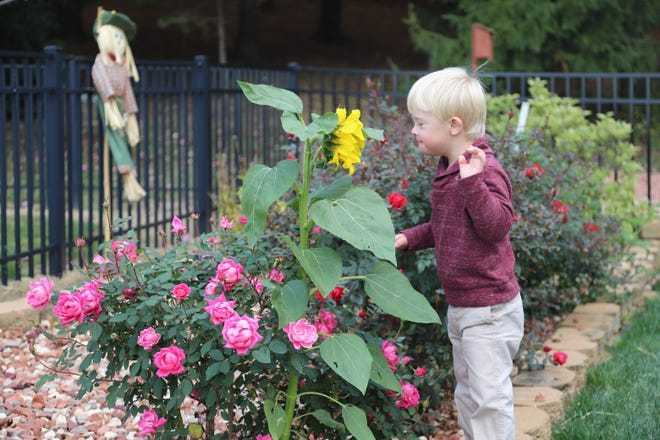 Jonah Milton, 4, checks a sunflower for bees in the flower garden of his grandparents, Jerry and Linda Dawson, of New Philadelphia.