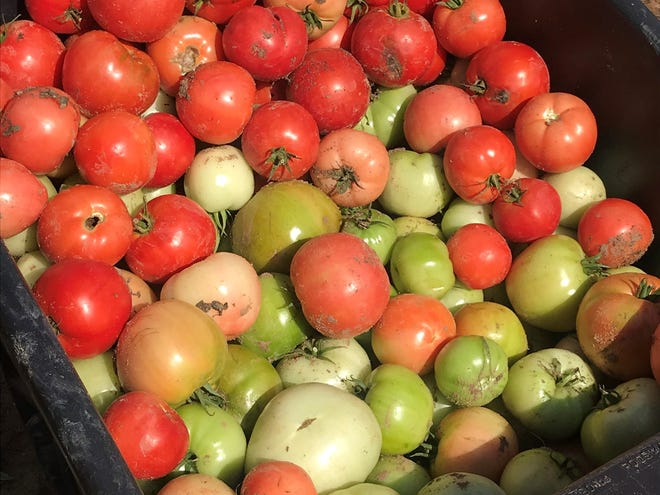 Over 2,000 pounds of tomatoes, both red and green, were harvested from experimental plots at the NMSU Los Lunas Agricultural Science Center on October 10, 2018.