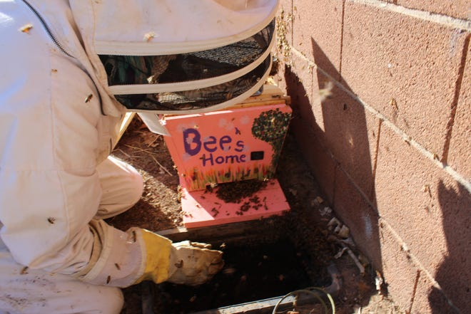 Las Cruces Utilities volunteer Anita Feil, who prefers the title bee wrangler, works with the city to remove bees from city water meter boxes and makes sure they end up in a safe place.