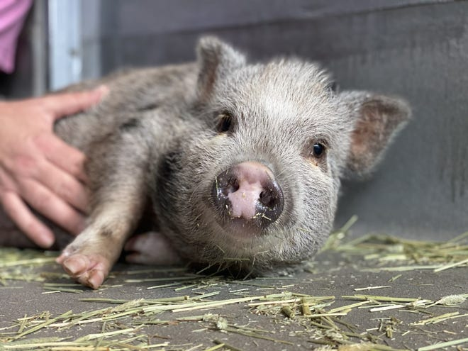 Petunia the pot-bellied pig was surrendered to Tallahassee Animal Services from the Phi Sigma Kappa fraternity house on Oct. 20, 2020.