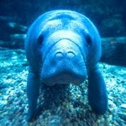 Daphne the manatee was released into her native Florida waters this week after spending a year rehabilitating at the Cincinnati Zoo and quadrupling her weight.