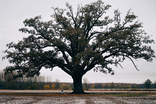 A big bur oak tree is shown in this USA Today file photo.