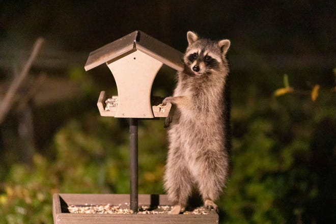 A raccoon raiding one of Jim McCormac's bird feeders