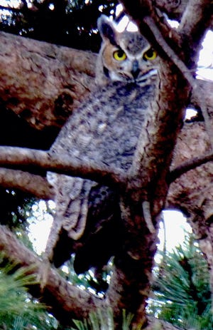A great horned owl at twilight blends into the surrounding as it stares down from a concealed perch high up in a pine tree. Piercing yellow eyes, fierce black hooked bill, tufted ears and feathering resembling a frown add to its unusual mystique. Owls are prized friends of gardens feeding on squirrels and rodents.