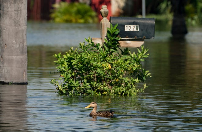 A duck swims in a street after heavy weekend rain flooded the Sea Pines neighborhood in Lantana on Oct. 26.