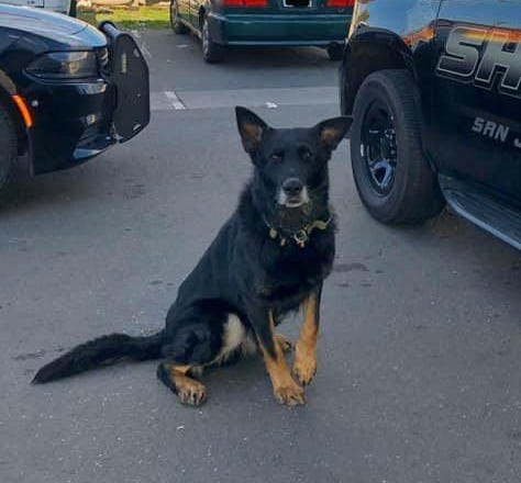 Sheriff's K-9 Maximus was attacked by another dog during a call Saturday night in east Stockton. The K-9's handler, fearing for Maximus' life, shot and killed the other dog. Maximus was treated for injuries at a veterinary emergency clinic and released to recover at home.