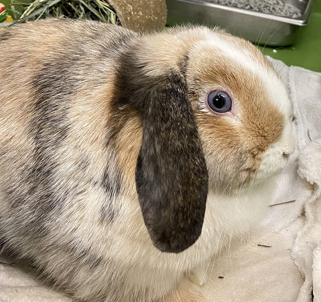 A Lop bunny named Popcorn, who was adopted within days from the Sterling Animal Shelter.