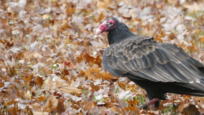 A turkey buzzard looks for a meal along Whetstone Street on a gray fall day.